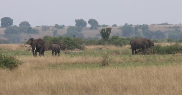 African elephants in grassland of Queen Elizabeth National Park, Uganda