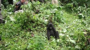 Close encounter with mountain gorillas, Bwindi Impenetrable National Park, Uganda