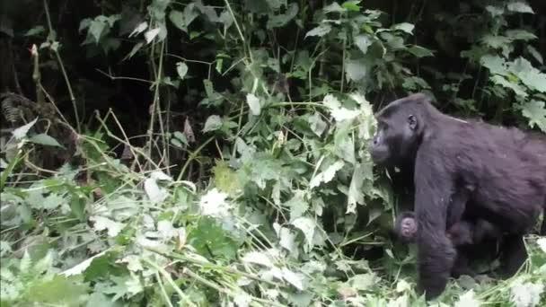 Female mountain gorilla with offspring,  Bwindi Impenetrable National Park, Uganda