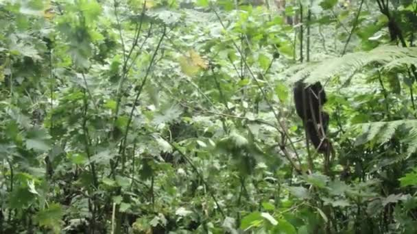 Baby mountian gorilla and silverback, Bwindi Impenetrable National Park, Uganda