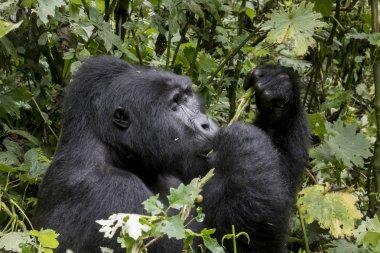 Profile of silverback mountain gorilla, Bwindi Impenetrable Fore