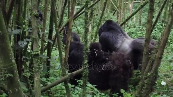 Silverback, female and baby mountain gorilla