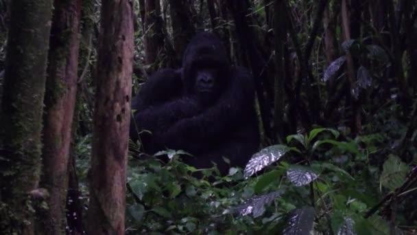 Silverback gorilla sitting in the rain