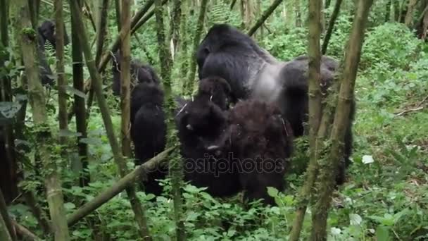 Baby gorilla with female and silverback