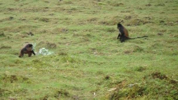 Pair of golden monkeys