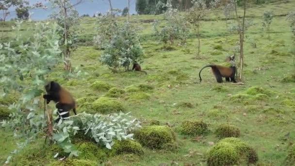 Zlatá monkeys jíst euculyptus stromy