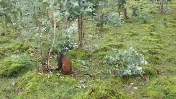 Zlatá opice, Virunga lesa, Rwanda