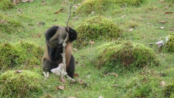 Krmit opice golden, Virunga, Rwanda