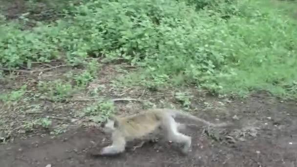 Vervet monkey defensive charging