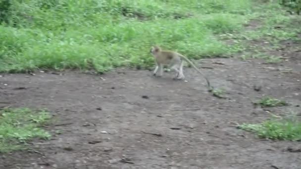 Kočkodani opice stravovací chyby