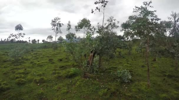 Golden monkey in eucalyptus tree, 4K