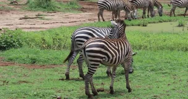Legeltetés zebrák, Lake Maynara, 4k
