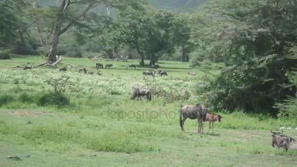 Wildebeest in Ngorongoro Crater, Tanzania, Africa