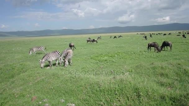 Wildebeest and zebra in Ngorongoro Crater, Tanzania