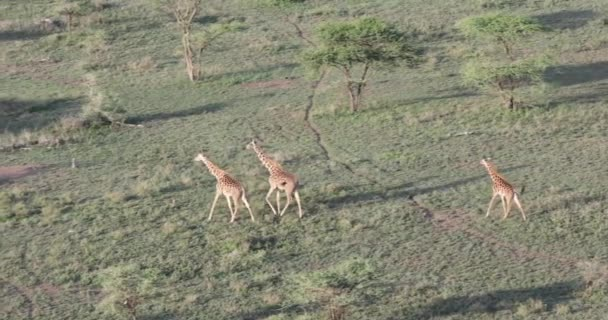 Pan over Serengeti with giraffes