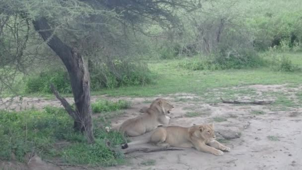 Lev a lvice pod strom acacia, Serengeti