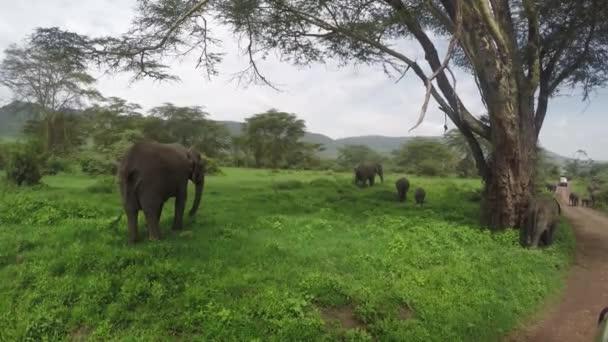 Pasoucí se slony, kráter Ngorongoro, 4k