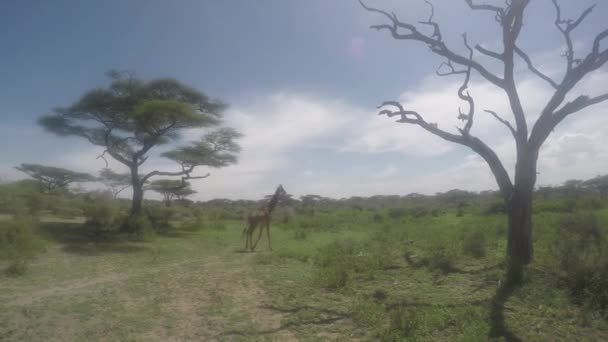 Giraffe walking, Serengeti, 4K