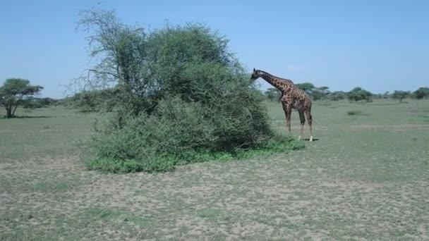 Žirafa, krmení v Serengeti