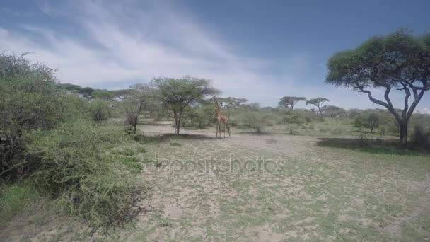Zsiráf étkezési akác fa, Serengeti, Afrika, 4k
