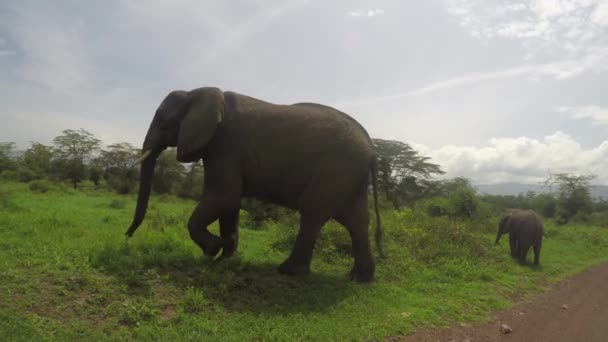 Slon s teletem, kráter Ngorongoro, 4k