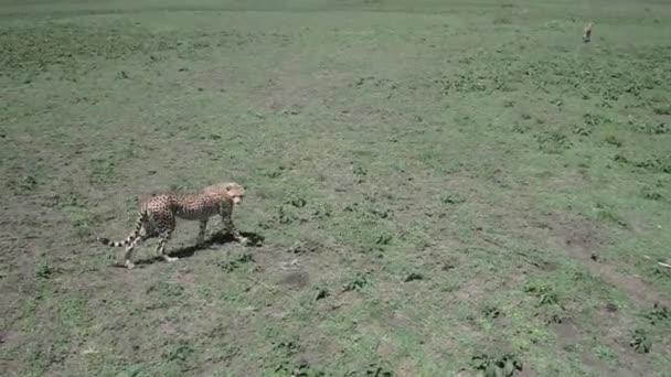 gepard v serengeti