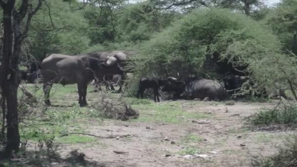 Cape buffalo with calf, Serengeti, Tanzania