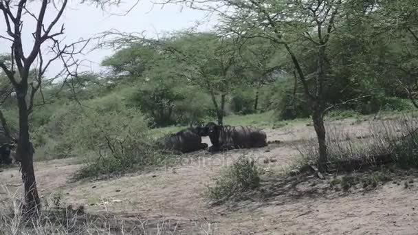 Cape buffalo in Serengeti, Tanzania