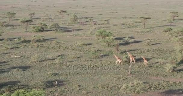 Letecký pan žiraf, Serengeti