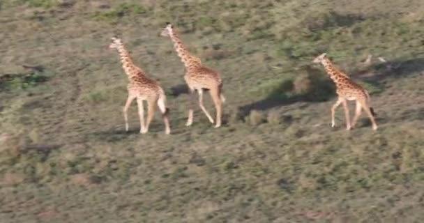 Antenna, zsiráfok, Serengeti futó