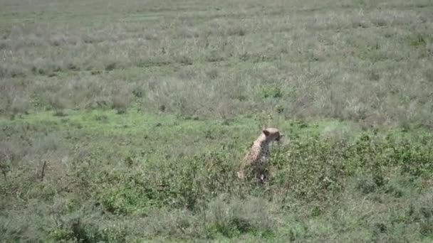 Adult cheetah in Serengeti