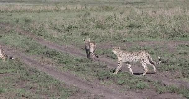 Young cheetahs in Serengeti, 4K