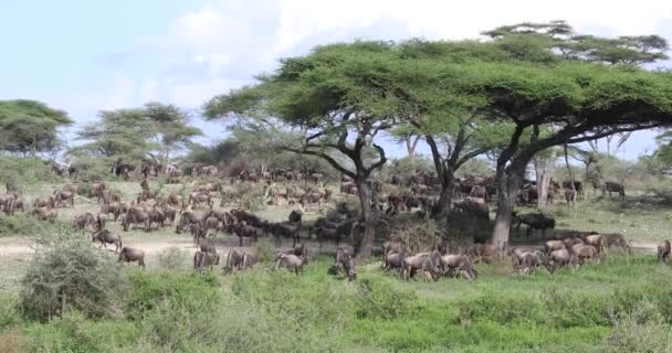 Wildebeest migration, Serengeti, 4K