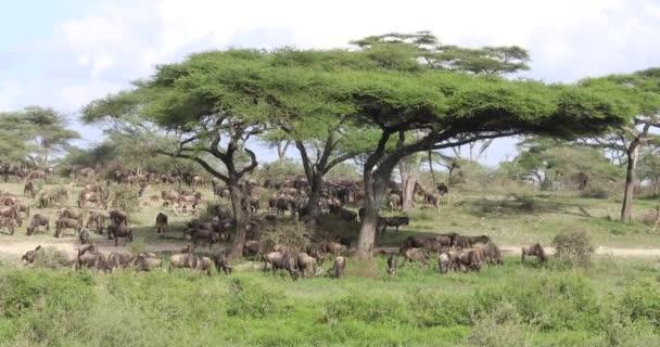 Pohyb pakoní v Serengeti, 4k