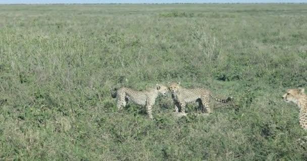 Hravý gepard mláďata, Serengeti, 4k