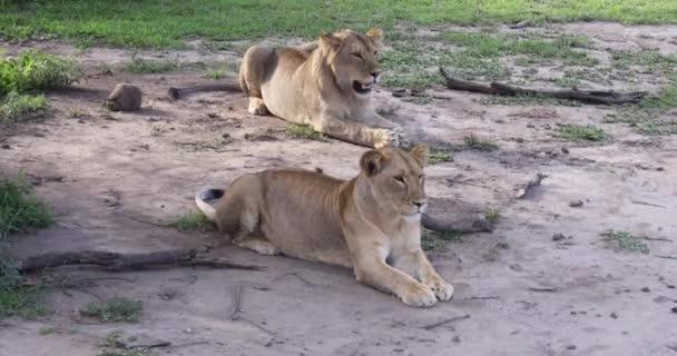 Lev a lvice, Serengeti, 4k