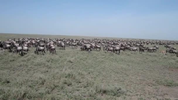 Skvělá wildebeest stéhování, Serengeti