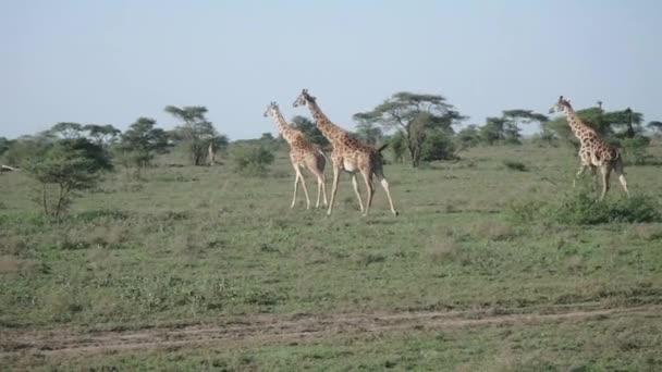 Zsiráfok átkelés Serengeti Tanzánia