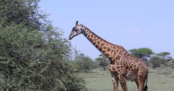 Žirafa jíst strom, 4k