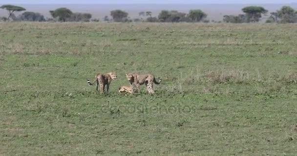 Mladý gepard pronásleduje gazelu, 4k
