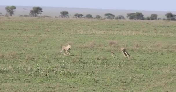 Gepardi honí mladá Gazela, 4k