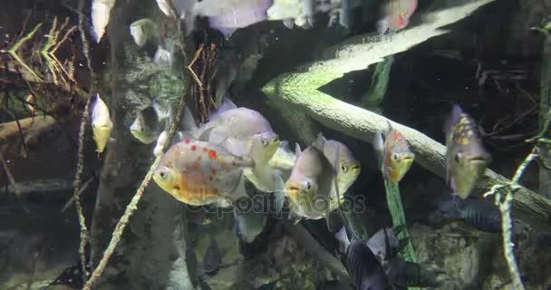 Amazon folyó hal a víz alatt, 4k