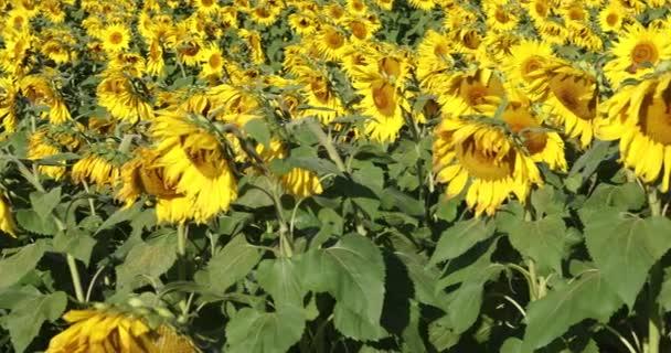 Posunujte slunečnicové pole