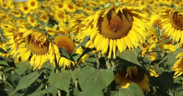 Včel opylovat slunečnice