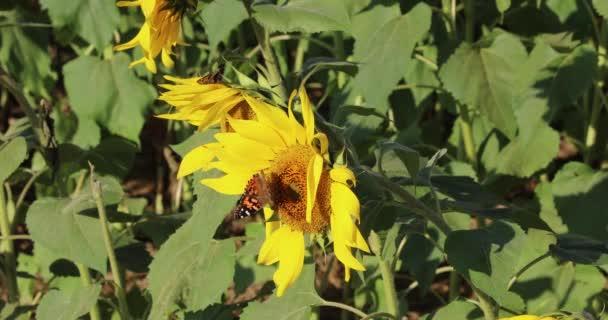 Motýl krmení na slunečnice