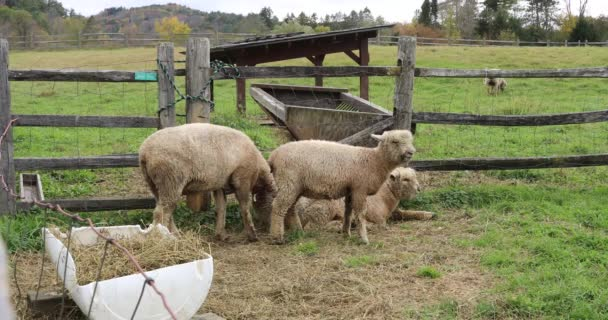 Ovce v zelená farma pastviny na slunečný den.