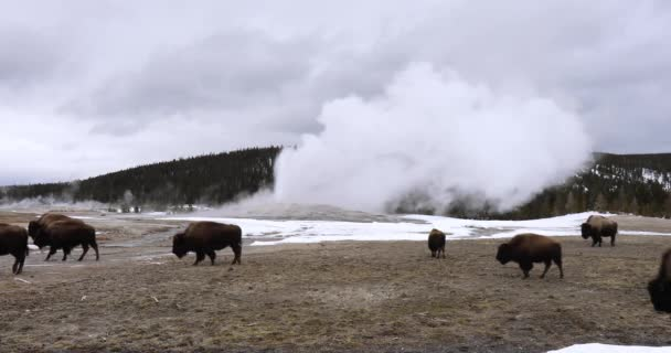 Herd Or Obstinacy Of American Bison Or Buffalo Grazing Around Erupting Old Faithful Geyser In Yellowstone National Park Wyoming In Winter