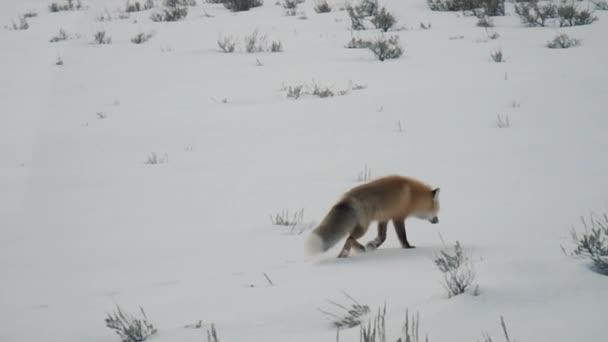 Red fox lov ve sněhu v Yellowstonský národní Park, Wyoming v zimě