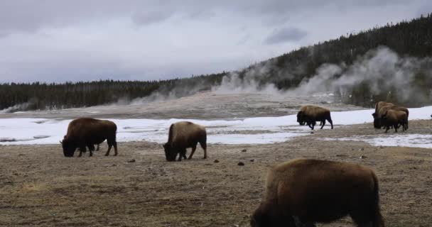 Bison Or American Buffalo Grazing In Front Of Erupting Old Faithful Geyser In Yellowstone National Park Wyoming In Winter