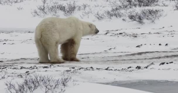 Wild polar bear in snowy tundra along Hudson Bay in Churchill, Manitoba, Canada.